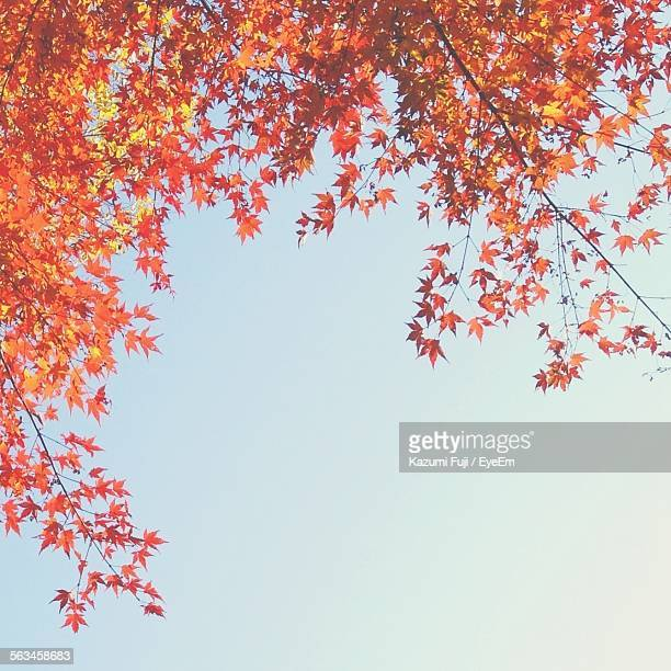 Low Angle View Of Orange Maple Leaves On Branch Against Sky
