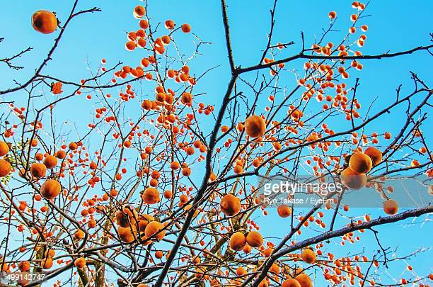 Low angle view of orange tree against clear blue sky