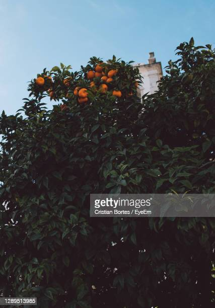 low angle view of orange tree against sky - bortes foto e immagini stock