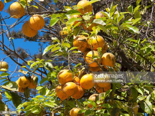 Low Angle View Of Oranges Growing On Tree