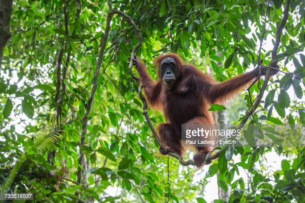 Low Angle View Of Orangutan Hanging On Tree In Forest