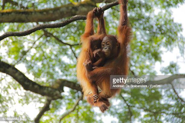 Low Angle View Of Orangutan Infants Hanging On Tree In Forest