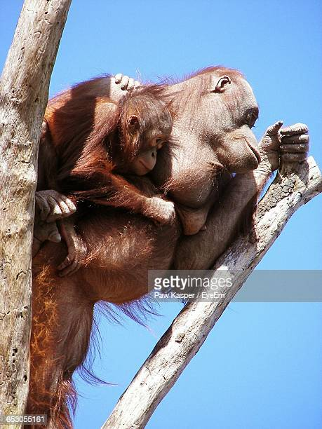 low angle view of orangutan with infant on tree against clear blue sky - monkey paw stock photos and pictures