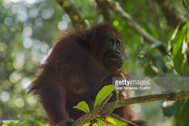 Low Angle View Of Orangutan With Infant On Tree