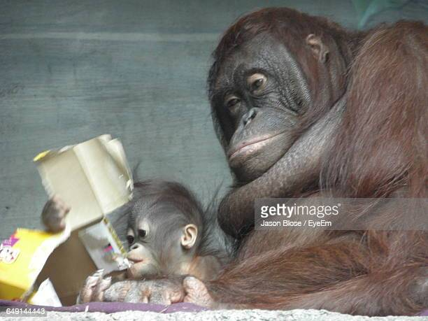 Low Angle View Of Orangutan With Infant Relaxing Against Wall At Zoo