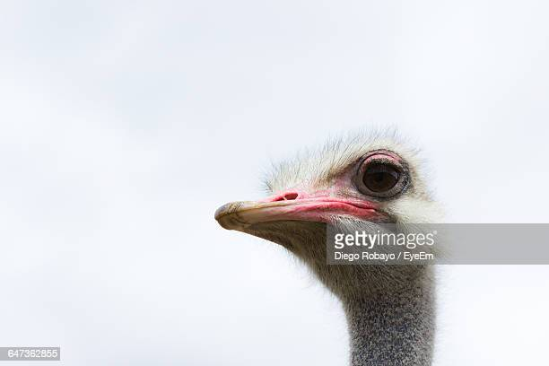 Low Angle View Of Ostrich Against Clear Sky