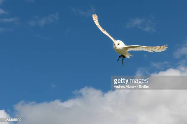 low angle view of owl flying against cloudy sky - chouette blanche photos et images de collection