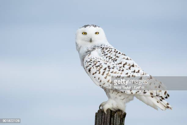 low angle view of owl perching on wooden post against sky - chouette blanche photos et images de collection