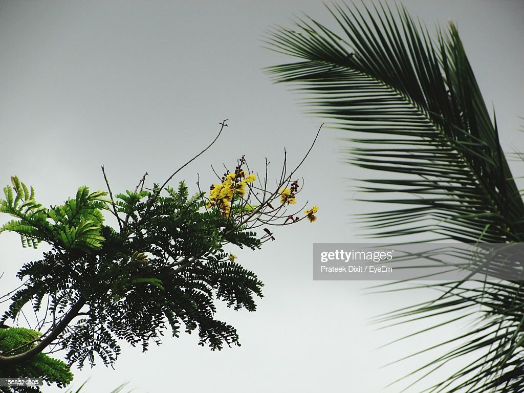 Low angle view of palm leaf and yellow flowers against sky stock low angle view of palm leaf and yellow flowers against sky mightylinksfo Gallery