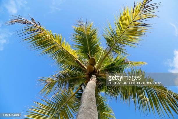 low angle view of palm tree against blue sky - cocotier photos et images de collection