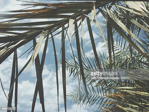 Low Angle View Of Palm Tree Branches Against Sky