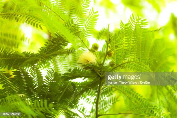 low angle view of palm tree leaves - west kalimantan stock pictures, royalty-free photos & images