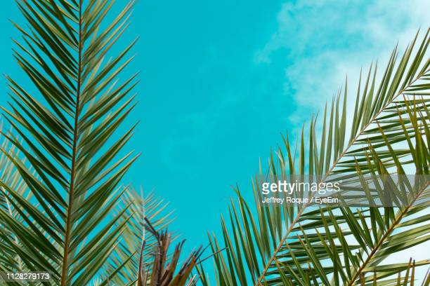 low angle view of palm trees against blue sky - jeffrey roque stock photos and pictures