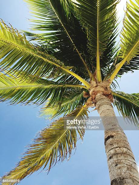 low angle view of palm trees against blue sky - date palm tree stock pictures, royalty-free photos & images
