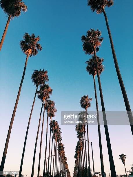 low angle view of palm trees against blue sky - cidade de los angeles imagens e fotografias de stock