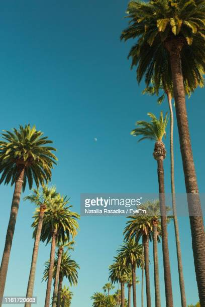 low angle view of palm trees against clear blue sky - hollywood kalifornien bildbanksfoton och bilder