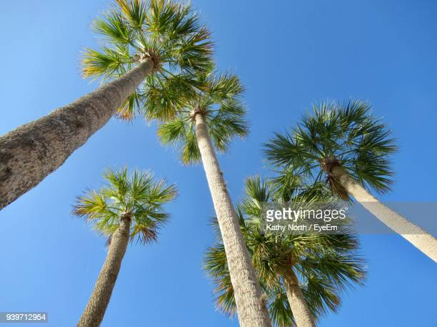 low angle view of palm trees against clear blue sky - florida nature stock pictures, royalty-free photos & images