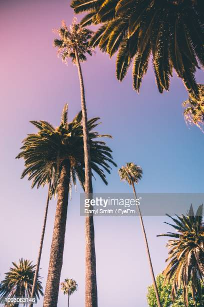 low angle view of palm trees against clear sky - palmera fotografías e imágenes de stock