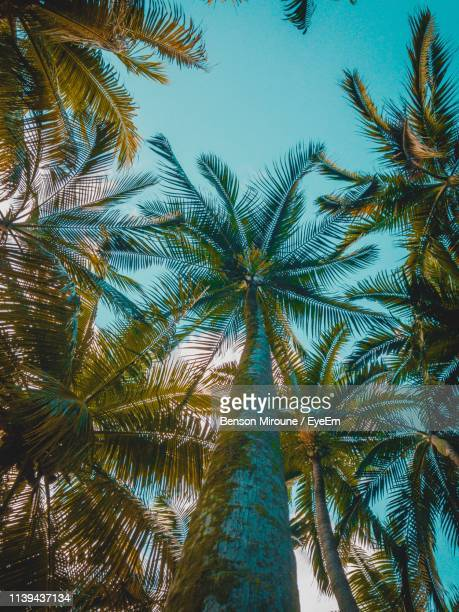 low angle view of palm trees against clear sky - ile maurice photos et images de collection