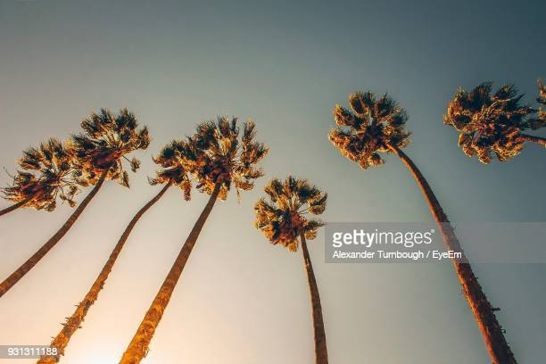 low angle view of palm trees against clear sky - california stock-fotos und bilder