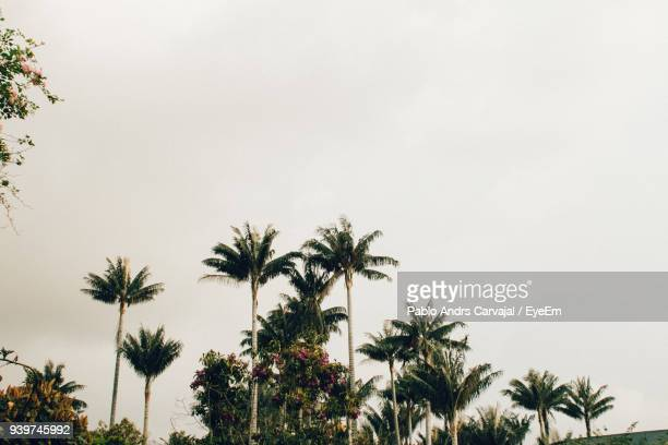low angle view of palm trees against clear sky - carvajal stock photos and pictures