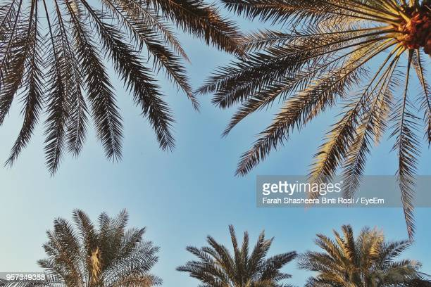 low angle view of palm trees against clear sky - emirate of sharjah stock pictures, royalty-free photos & images