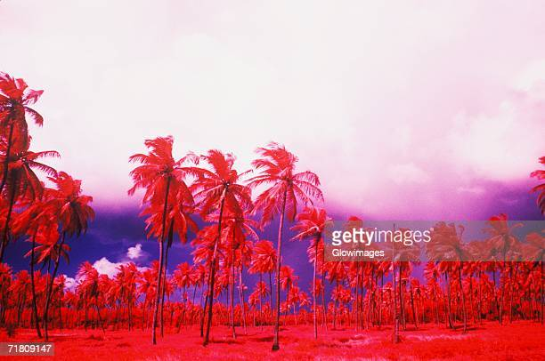 Low angle view of palm trees, Caribbean