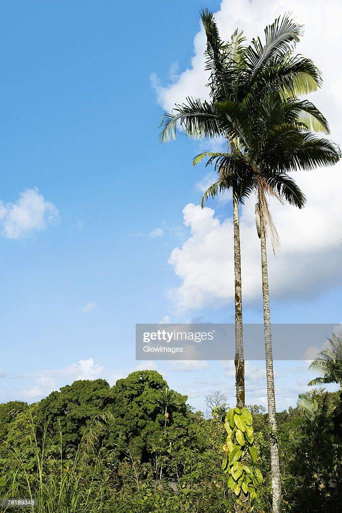 Low angle view of palm trees, Hilo, Big Island, Hawaii Islands, USA : Stock Photo