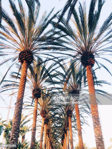 low angle view of palm trees in row - date palm tree stock pictures, royalty-free photos & images