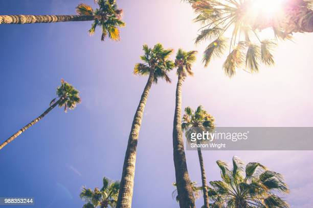 Low angle view of palm trees in sunlight, Avalon, Santa Catalina, California, USA