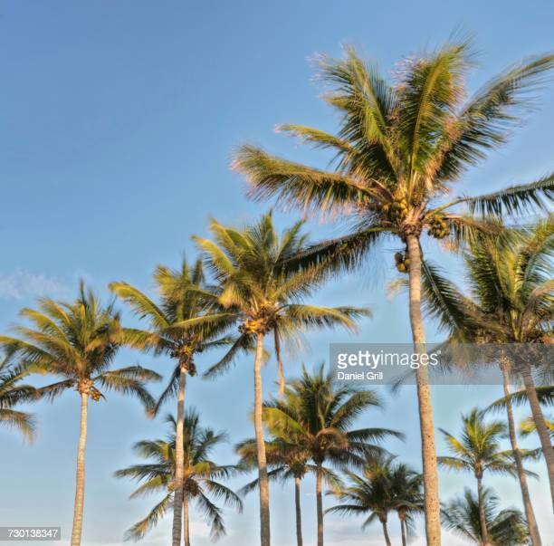 low angle view of palm trees - grove stock-fotos und bilder