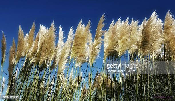 Low Angle View Of Pampas Growing Against Clear Blue Sky