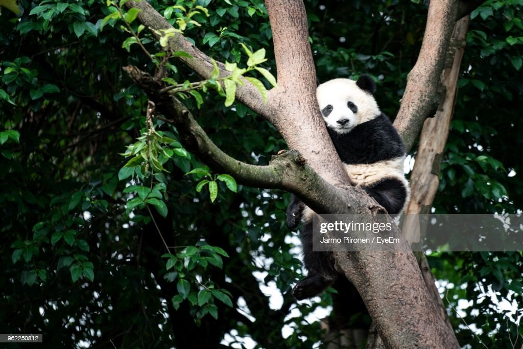 Low Angle View Of Panda Relaxing On Tree : Stock Photo