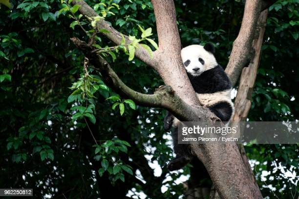 Low Angle View Of Panda Relaxing On Tree