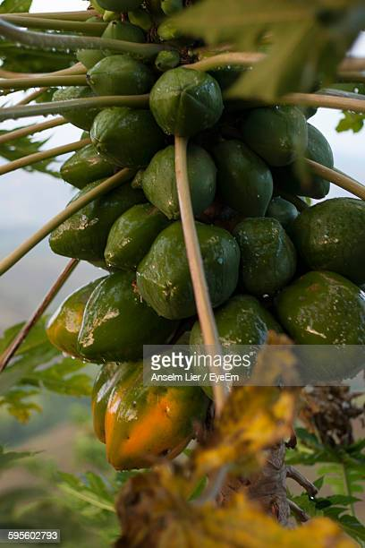 Low Angle View Of Papayas Growing On Tree