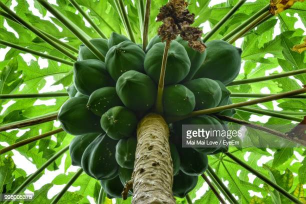 low angle view of papayas growing on tree - unripe stock pictures, royalty-free photos & images