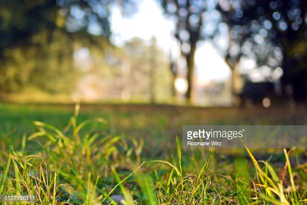 low angle view of parkland, selective e focus on grass blades - grass picture stock pictures, royalty-free photos & images