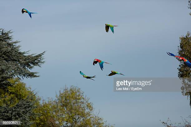 Low Angle View Of Parrots Flying Against Clear Blue Sky