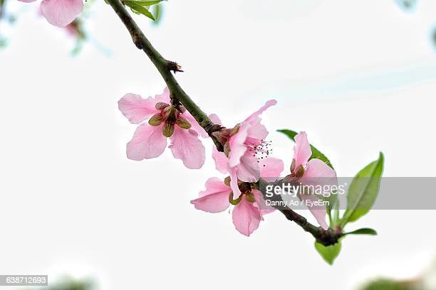 Low Angle View Of Peach Blossoms Against Sky