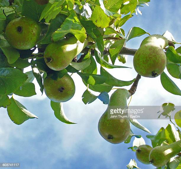 Low Angle View Of Pear Growing On Tree Against Sky