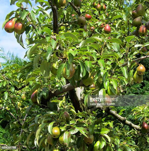Low Angle View Of Pears Growing On Tree