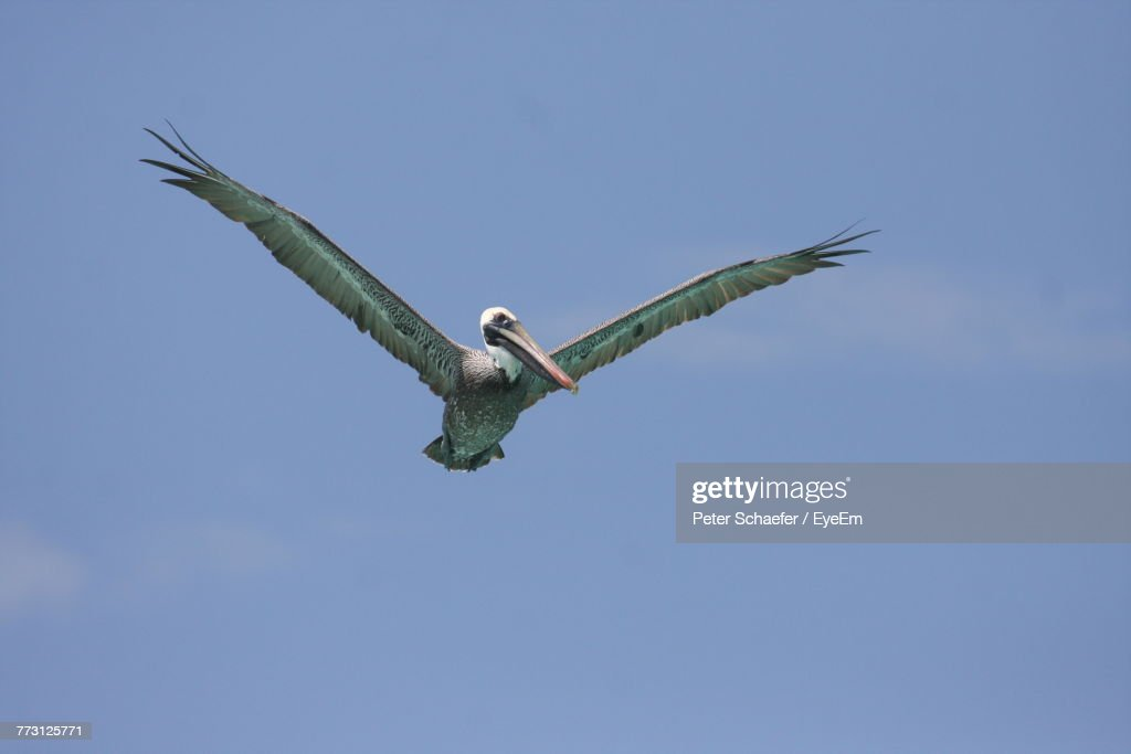 Low Angle View Of Pelican Flying Against Blue Sky : Photo