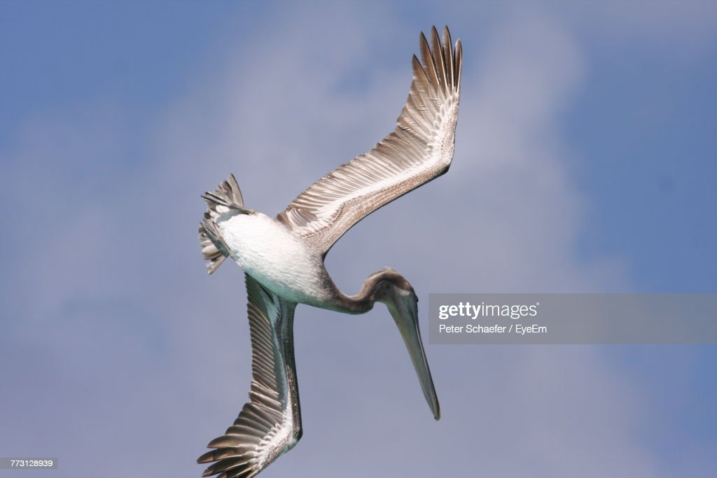 Low Angle View Of Pelican Flying Against Sky : Photo