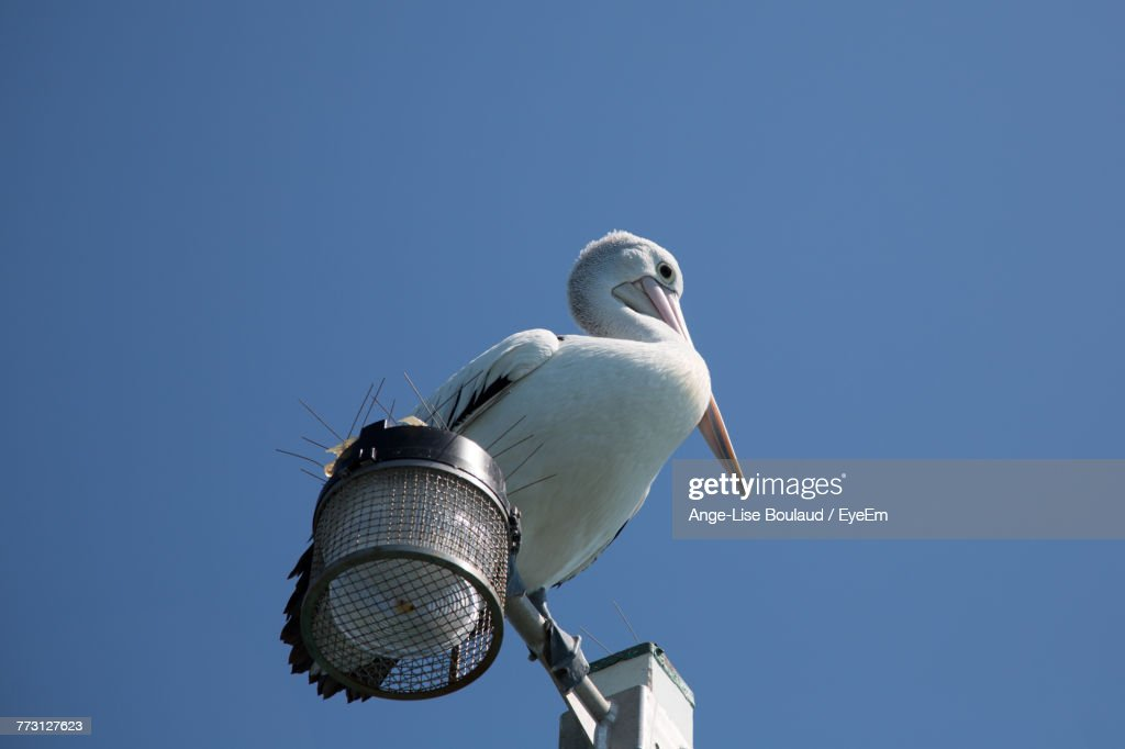 Low Angle View Of Pelican Perching Against Clear Blue Sky : Photo