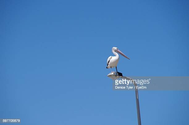 Low Angle View Of Pelican Perching On Street Light Against Clear Blue Sky