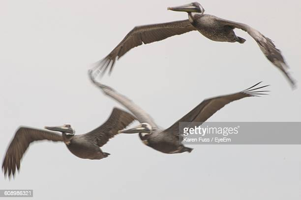 low angle view of pelicans flying against sky - three animals stock pictures, royalty-free photos & images