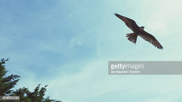 Low Angle View Of Peregrine Falcon Against Cloudy Sky On Sunny Day