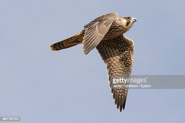 Low Angle View Of Peregrine Falcon Flying In Clear Sky