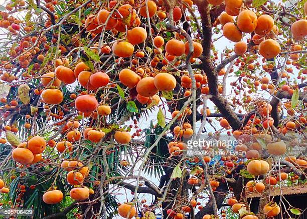 Low Angle View Of Persimmon On Tree