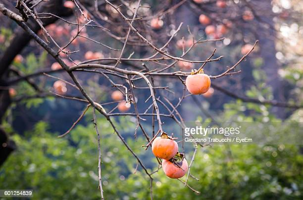 Low Angle View Of Persimmons Growing On Tree